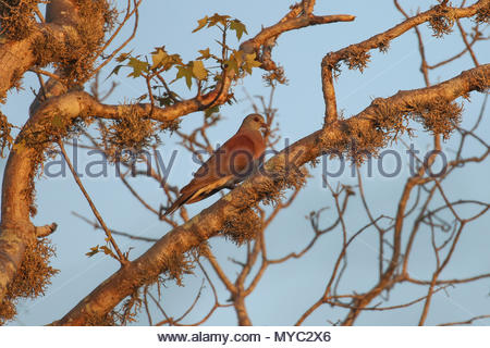 A well-camouflaged Madagascar turtle-dove (Streptopelia picturata) perches in a tree. - Stock Photo