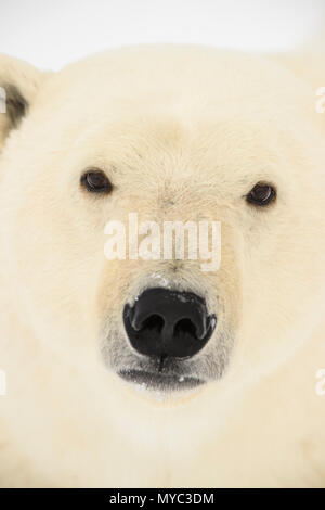 Polar Bear (Ursus maritimus), Wapusk National Park, Cape Churchill, Manitoba, Canada - Stock Photo
