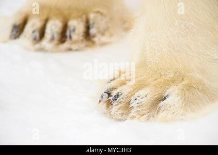 Polar Bear (Ursus maritimus) Legs and paws, Wapusk National Park, Cape Churchill, Manitoba, Canada - Stock Photo