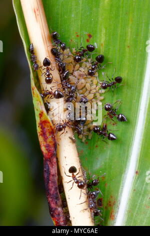 Ants, Crematogaster species, tending aphids on the underside of a leaf. - Stock Photo