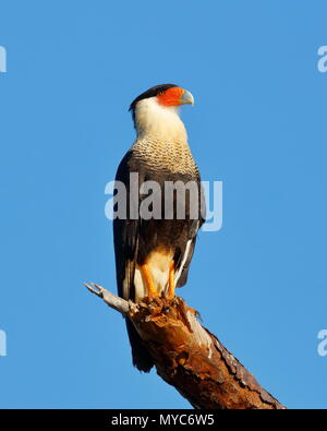 A crested caracara, Caracara cheriway, perches in a pine tree. - Stock Photo
