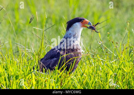 A crested caracara, Caracara cheriway, feeding on a crawfish. - Stock Photo