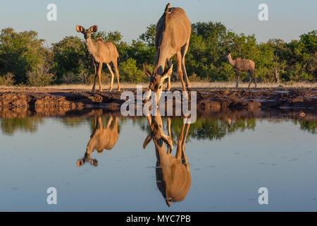 Kudu at The Matabole Hide waterhole in Botswana - Stock Photo