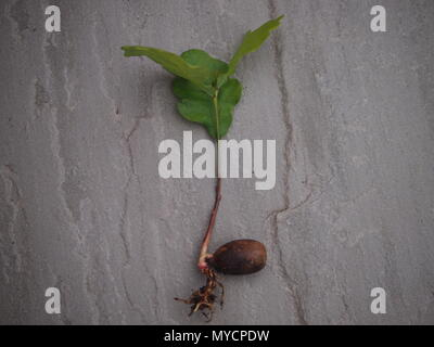 Mighty oaks from little acorns grow. Green shoots and roots emerging from an acorn. - Stock Photo