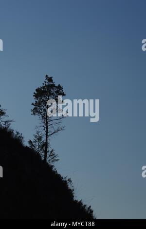 Single Young Scots Pine Trees (Pinus sylvestris) Growing on a Hillside on a Summers Day. Beinn Eighe NNR, Kinlochewe, Scotland, UK. - Stock Photo