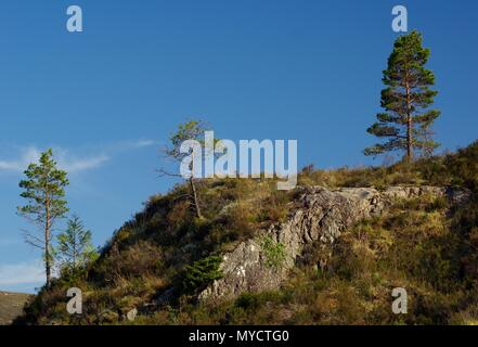 Three Young Scots Pine Trees (Pinus sylvestris) Growing on a Hillside on a Summers Day. Beinn Eighe NNR, Kinlochewe, Scotland, UK. - Stock Photo
