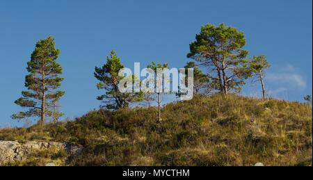 Young Scots Pine Trees (Pinus sylvestris) Growing on a Hillside on a Summers Day. Beinn Eighe NNR, Kinlochewe, Scotland, UK. - Stock Photo
