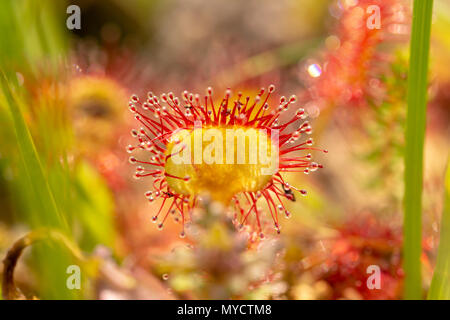 Macro shot of single Common Sundew leaf centered in image with blurred background, taken on Canford heath nature reserve. Stock Photo