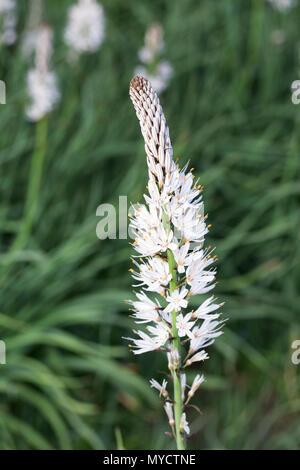 Asphodelus albus. White-flowered asphodel. - Stock Photo