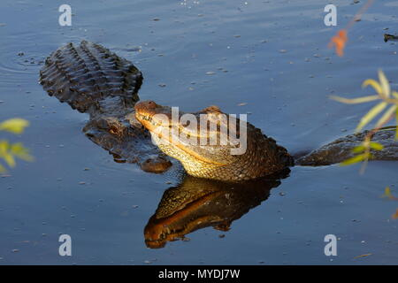 American alligators, Alligator mississippiensis, in mating season - Stock Photo