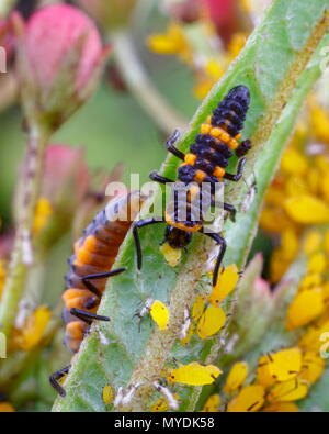A Orange lady bug, Cycloneda sanguinea, larvae feeding on a milkweed aphids. - Stock Photo