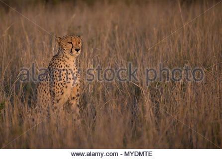 A female cheetah among tall grass. - Stock Photo
