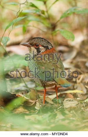 Scaly ground-roller (Geobiastes squamiger) is one of the most beautiful but also hardest-to-see endemic birds. - Stock Photo