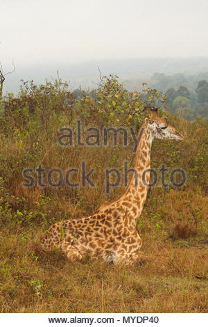 A Masai giraffe (Giraffa tippelskirchi) rests in the grass. - Stock Photo