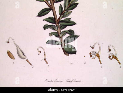 . This is an image of a print of a hand coloured engraving by James Sowerby (1757-1822), based on drawing nominally by John White but probably by the convict artist Thomas Watling. It appeared as Tab. X in James Edward Smith's 1793 A Specimen of the Botany of New Holland. The plant depicted is Grevillea buxifolia (Sm.) but was titled Embothrium buxifolium. The accompanying text at the source of the digital image gives print : engraving with hand colouring ; plate mark 23.7 x 15.0 cm. on sheet 29.0 x 21.3 cm. circa 1794. James Sowerby 159 Embothrium (Grevillea) buxifolium-detail - Stock Photo