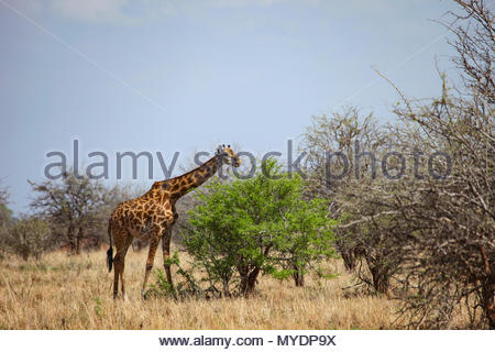 A Masai giraffe (Giraffa camelopardalis tippelskirchii) feeds on a shrub. - Stock Photo