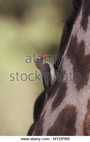 A red-billed oxpecker (Buphagus erythrorhynchus) forages for insects on a Masai giraffe (Giraffa camelopardalis tippelskirchii). - Stock Photo