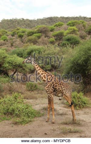 An adult male Masai giraffe. - Stock Photo