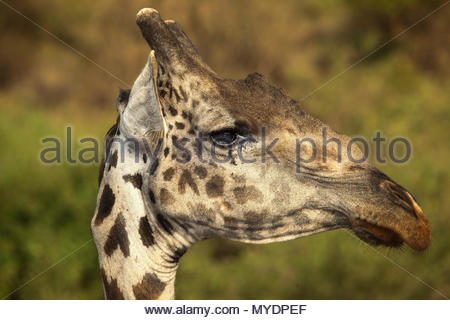 Profile of a Masai giraffe (Giraffa camelopardalis tippelskirchii). - Stock Photo