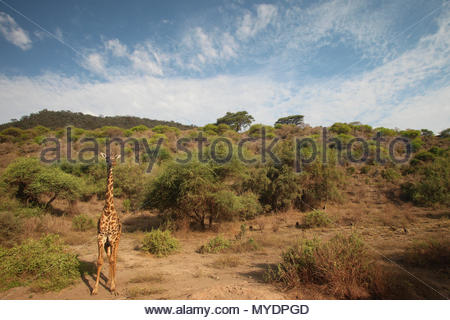 A Masai giraffe (Giraffa camelopardalis tippelskirchii). - Stock Photo
