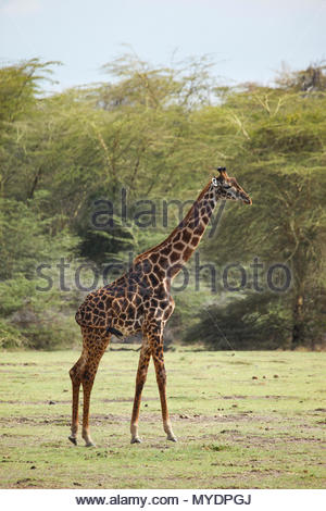 A standing Masai giraffe (Giraffa camelopardalis tippelskirchii) with acacia trees in the background. - Stock Photo