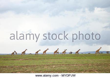 A herd of Masai giraffe walk across the Serengeti plains. - Stock Photo