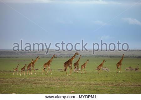 Masai giraffes walk the Serengeti plains, with near threatened common zebras (Equus quagga). - Stock Photo