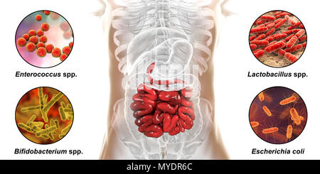 Computer illustration of the human digestive system and a close-up view of bacteria found in the small intestine. - Stock Photo