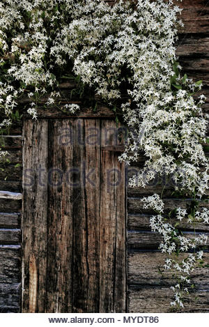 White autumn clematis blossoms tumble down around the door of an old wooden shed. - Stock Photo