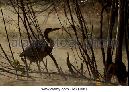 A great blue heron, Ardea herodias, wades in Walden Pond. - Stock Photo