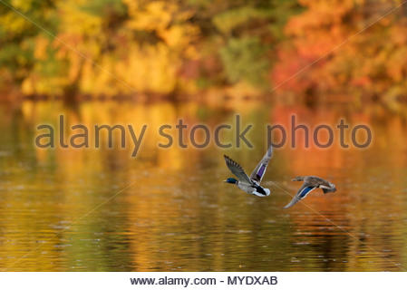 A mallard pair, Anas platyrhynchos, flies over Walden Pond in the fall. - Stock Photo