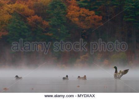 Mallards, Anas platyrhynchos, in the morning mist. - Stock Photo