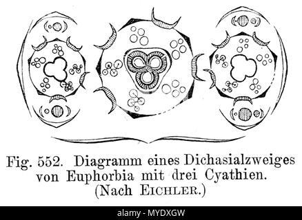 Diagram Of A Flower Of Euphorbia Euphorbiaceae Scanned 11 June
