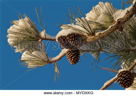 Blue sky frames Pitch Pine tree needles and cones covered in fresh snow. - Stock Photo