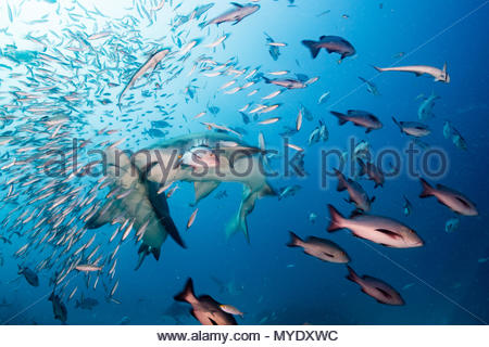 Bull sharks among red snapper and fusiliers. - Stock Photo