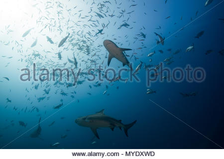 Bull sharks and a school of fish. - Stock Photo