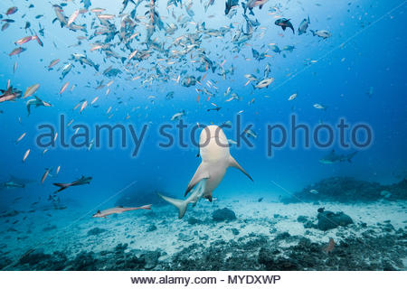 A bull shark approaches a school of fusiliers and red snapper. - Stock Photo