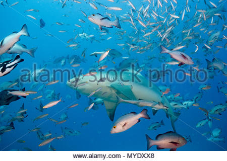 A bull shark, Carcharinus leucas, swims through a school of red snapper and fusiliers. - Stock Photo