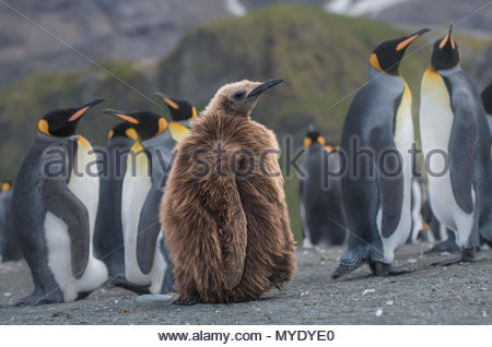 A juvenile king penguin stands next to a group of adult penguins. - Stock Photo