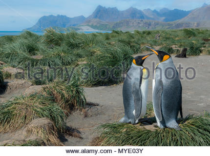 King penguins on a grassy beach. - Stock Photo