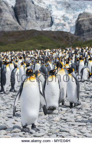 King penguins on a rocky beach, a glacier is in the background. - Stock Photo