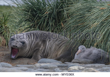 An elephant seal and a petrel chick. - Stock Photo