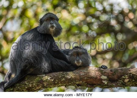 Blue monkeys (Cercopithecus mitis) rest in a tree. - Stock Photo