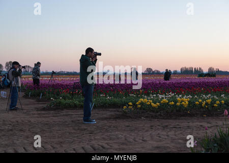 WOODBURN, OREGON - April 13, 2014:  Photographers at sunrise taking photos of a blooming tulip field in Woodburn, OR on April 13, 2014. - Stock Photo