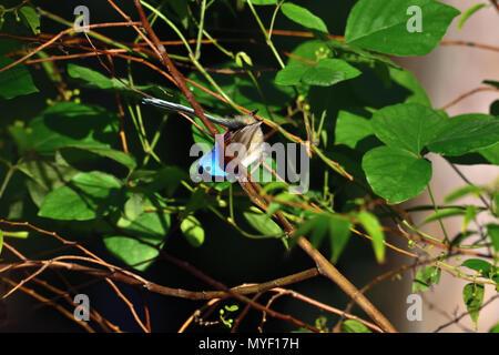 An Australian, Brisbane Queensland Male Variegated Fairy-wren, Malurus lamberti in thick bush looking for food - Stock Photo