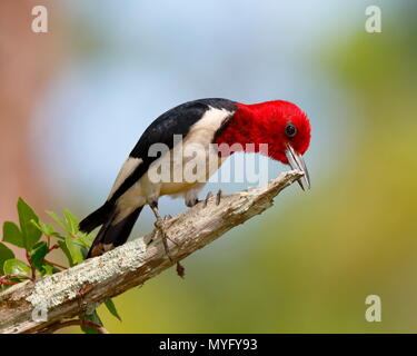 A red-headed woodpecker, Melanerpes erythrocephalus, sharpening its bill on a dead pine tree branch. - Stock Photo