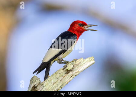 A red-headed woodpecker, Melanerpes erythrocephalus, perched on a dead pine tree branch. - Stock Photo
