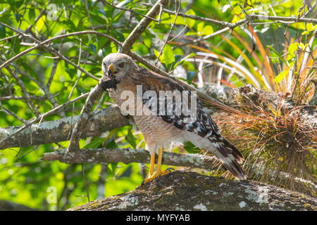This red-shouldered hawk, Buteo lineatus, eating a Florida snapping turtle, Chelydra serpentina oceola. - Stock Photo