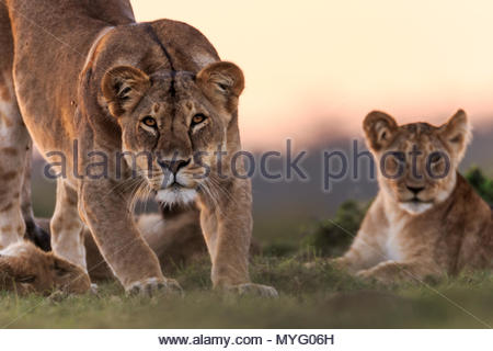 A female Lion, Panthera leo, stretches alongside her cubs at sunset. - Stock Photo