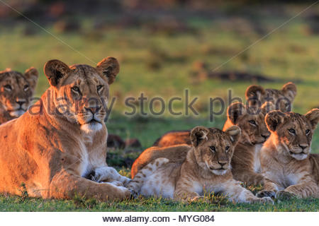 A female lion and her cubs rest at sunset. - Stock Photo
